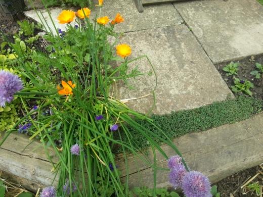 garden-creepingthyme