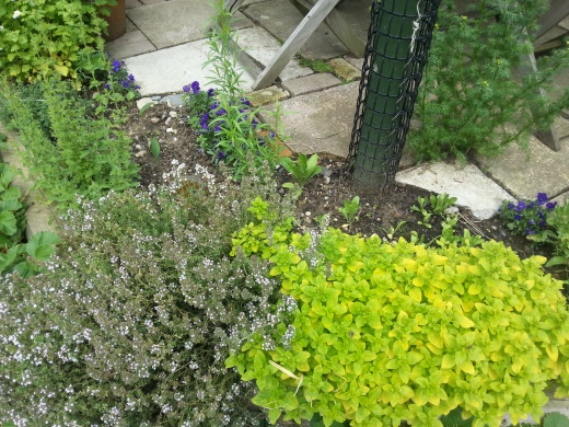 garden-oregano
