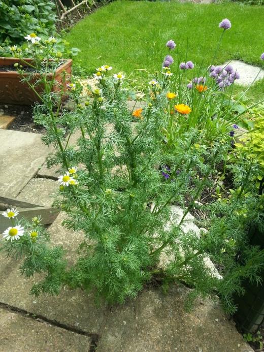garden-chamomile
