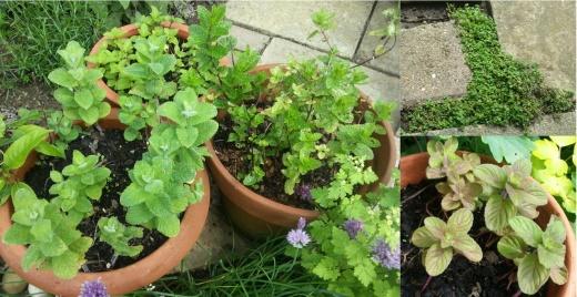 garden-mints