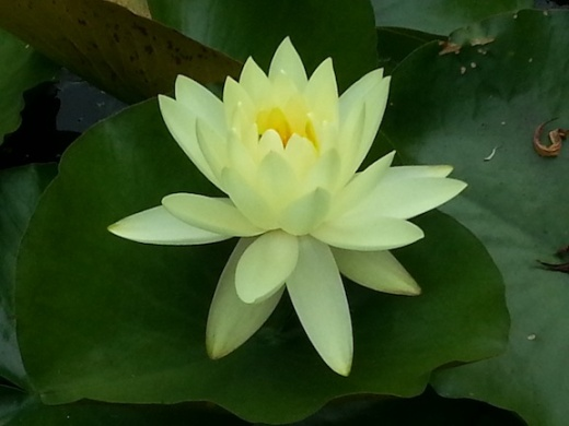 waterlily11
