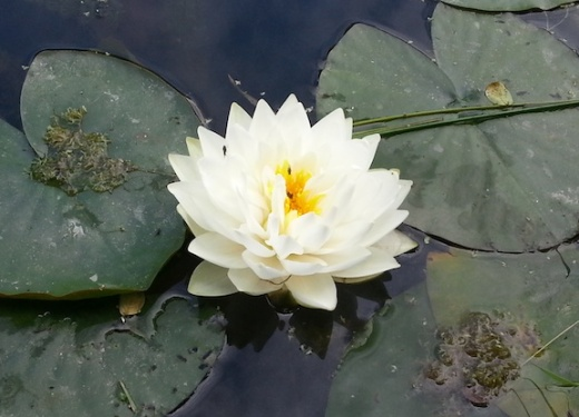 waterlily9