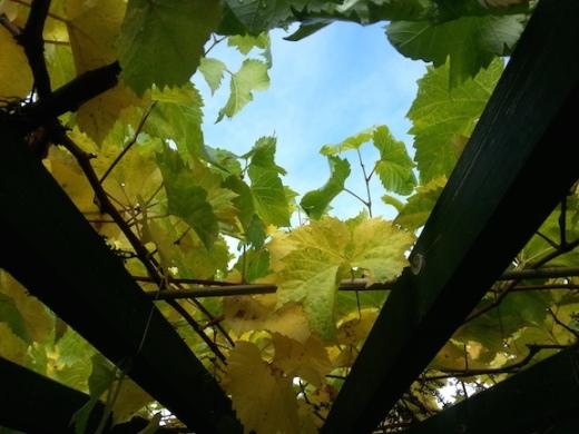 autumngrapevine